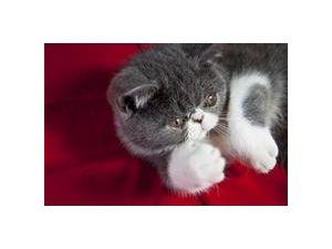 Exotic Short hair Kittens-Tica Registered