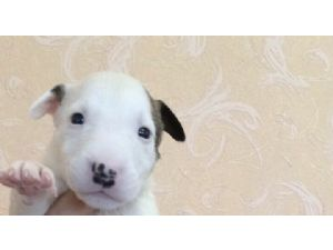 Miniature Bull TerrierFor Sale for sale
