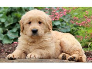 Golden RetrieverFor Sale for sale