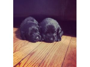 Dogs for sale, Puppies in New Jersey (NJ)