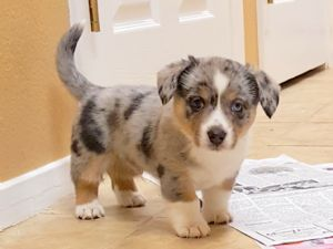 Cardigan Welsh Corgi Puppies For