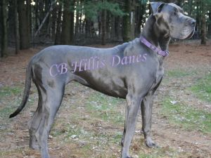4de6bdc8 Great Dane Breed Information & Pictures (German Mastiff, Deutsche Dogge)