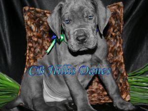 4de6bdc8 Great Dane Breed Information & Pictures (German Mastiff, Deutsche Dogge)