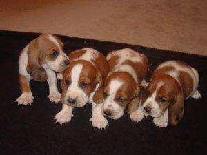 Basset Hound Puppies For Sale Mahoganywhite Redwhite Basset Babies