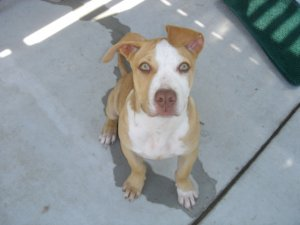 American Pit Bull Terrier Puppies For Sale Purebred Red Nose