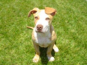 Purebred red nose pitbull puppy