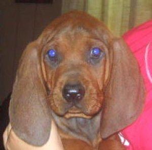 Redbone Coonhound Puppies For Sale 8 Wk Old Redbone Coonhound Puppy