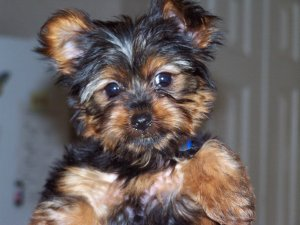 More Birth Certificate Questions Raised >> Yorkshire Terrier Puppies For Sale: Adorable Tiny Yorkies!