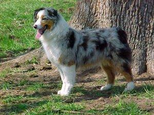 Australian ShepherdsFor Sale breeder directory