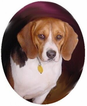 Beagle breeder directory