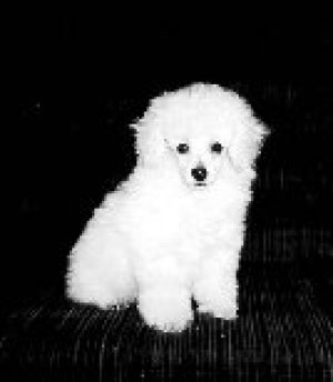 Poodle Puppies on Toy Poodle Puppies For Sale