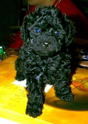 Toy Poodle Puppies For Sale Min Pintoy Poodle Mix Puppy