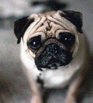 Pug Puppies For Sale: Cordova Pugs - AKC Champion Lines
