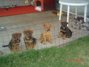 Chow Chow Puppies For Sale Chowrottweiler Mix