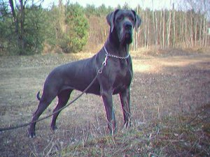 Great Dane Puppies For Sale: 100%EUROPEAN BLUE PUPPY