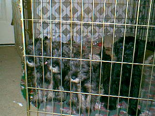 Standard SchnauzerFor Sale for sale