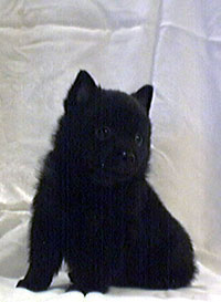SchipperkeFor Sale for sale