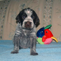 Wirehaired Pointing GriffonFor Sale for sale