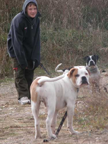 Alapha Blue Blood Bulldogs for sale