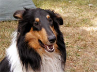 Collie