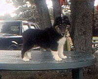 Shetland Sheepdog for sale