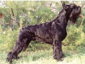 Giant Schnauzer for sale