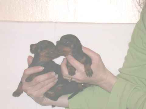 Toy Manchester Terrier for sale