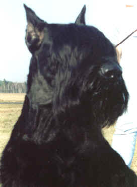 Giant SchnauzerFor Sale for sale