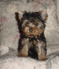 Yorkshire TerrierFor Sale for sale