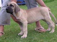Fila Brasileiro for sale