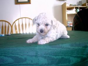 Toy PoodleFor Sale for sale
