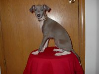 Italian GreyhoundFor Sale for sale