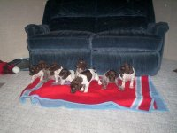 German Shorthaired PointerFor Sale for sale