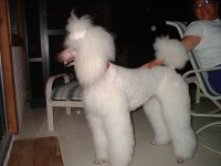 Standard Poodle