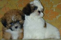 Shih TzuFor Sale for sale
