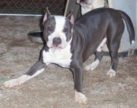 American Staffordshire TerriersFor Sale for sale