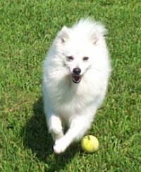 American Eskimo