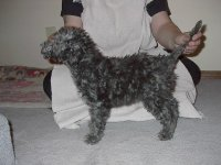 Bedlington TerrierFor Sale for sale