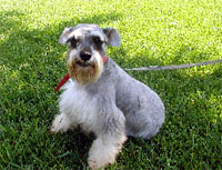 Miniature Schnauzer for sale