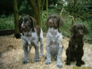 German Wirehaired PointerFor Sale for sale