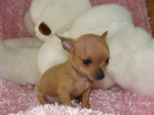 chihuahua full grown chihuahua puppies for sale micro teacup chihuahuas 2 lbs 4454