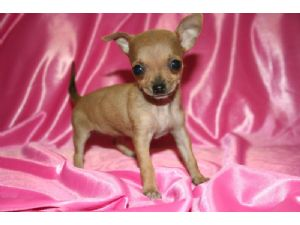 chihuahua full grown chihuahua puppies for sale micro teacup chihuahuas 2 lbs 9967