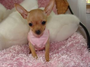 chihuahua full grown chihuahua puppies for sale micro teacup chihuahuas 2 lbs 1505