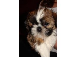 shih tzu breeders in md shih tzu puppies for sale in maryland cheap 5435