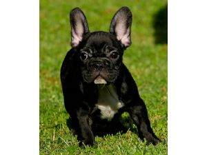 affordable french bulldog french bulldog puppies for sale quality french bulldogs 3136