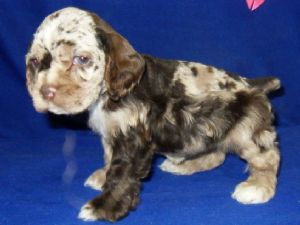 dugan cocker spaniel puppy for cocker spaniel puppies for sale american female chocolate 7504