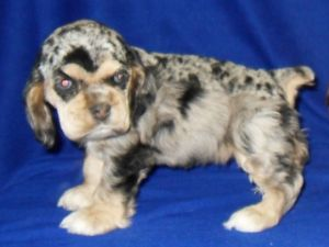 dugan cocker spaniel puppy for cocker spaniel puppies for sale american female chocolate 1365