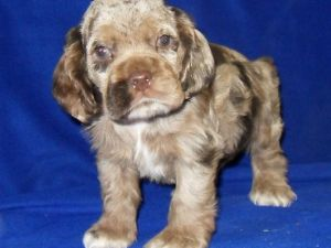 dugan cocker spaniel puppy for cocker spaniel puppies for sale american female chocolate 9052