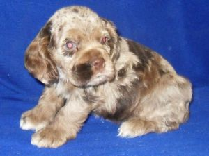 dugan cocker spaniel puppy for cocker spaniel puppies for sale american female chocolate 2391