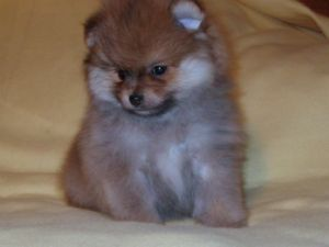pomeranian for sale bay area pomeranian puppies for sale akc and ckc toy teacup 4971